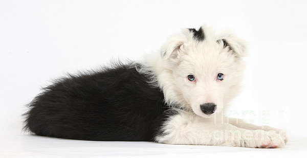 Nature Photograph - Border Collie Puppy by Mark Taylor