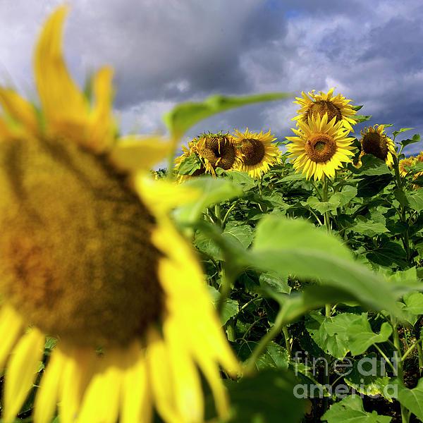 Blue Sky Photograph - Field Of Sunflowers by Bernard Jaubert