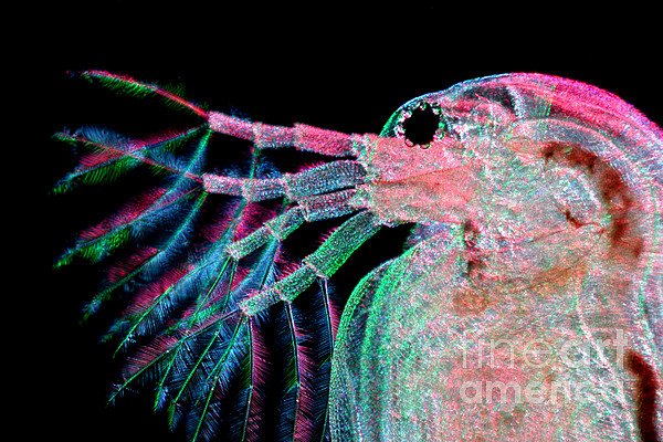 Water Flea Photograph - Water Flea Daphnia Magna by Ted Kinsman