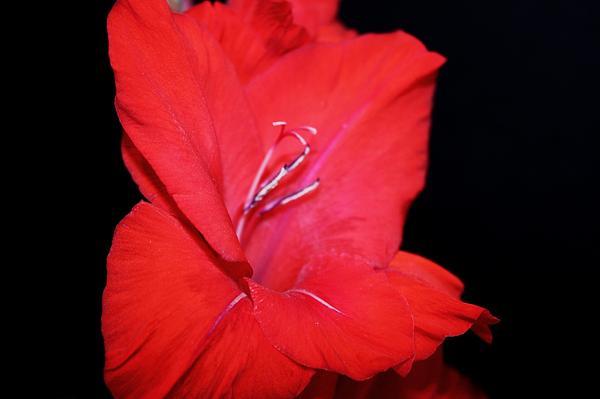 Gladiolas Photograph - Gladiola by Cathie Tyler