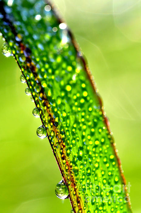 Dew Photograph - Dewdrops On Lemongrass by Thomas R Fletcher