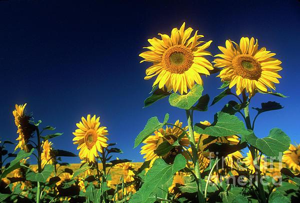 Blue Sky Photograph - Sunflowers  by Bernard Jaubert