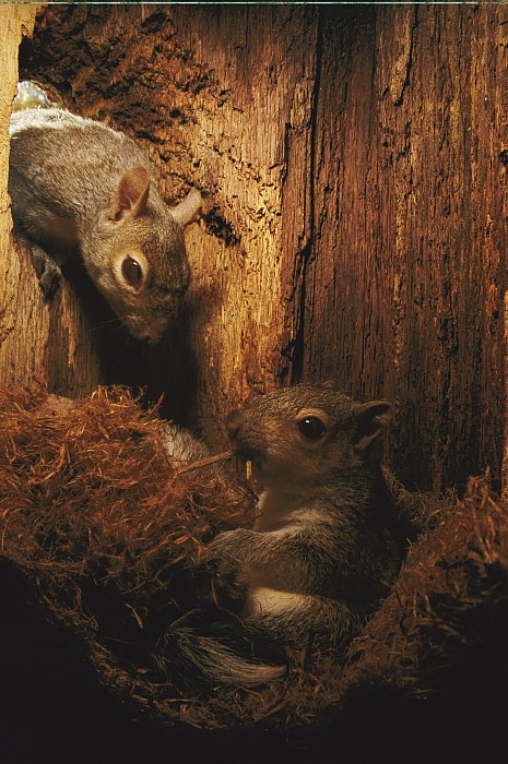 United States Photograph - A A Baby Eastern Gray Squirrel Sciurus by Chris Johns