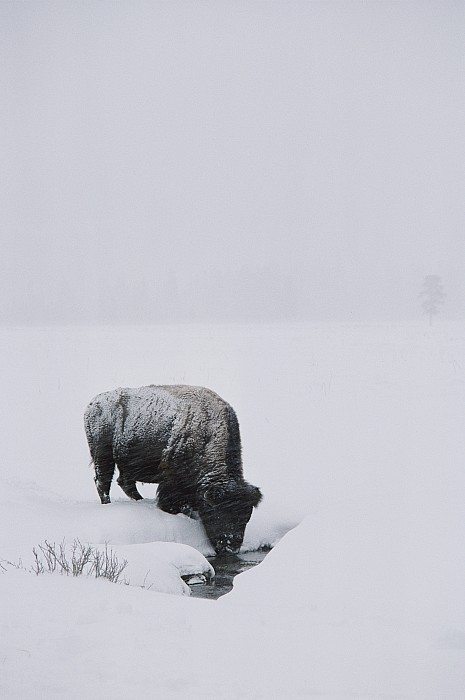 Husky Photograph - A American Bison Bison Bison Finds by Tom Murphy