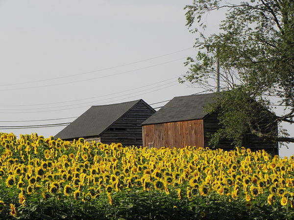 Sunflowers Photograph - A Beautiful Country Setting In Ct by Kim Galluzzo Wozniak