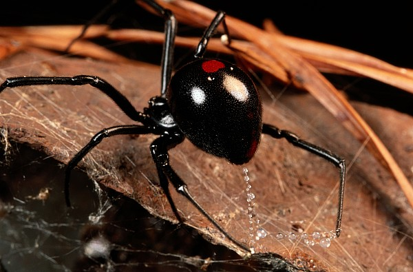 Animals Photograph - A Black Widow Spider Latrodectus by George Grall