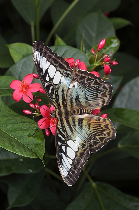 Day Photograph - A Blue Clipper Butterfly Feeds by George Grall