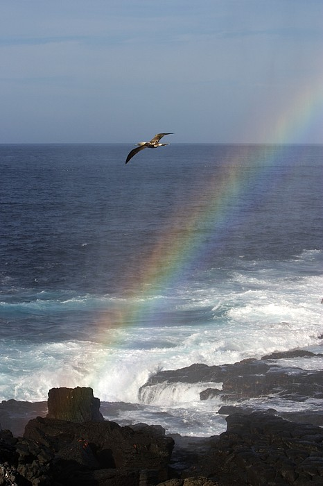 Rainbows Photograph - A Blue Footed Booby Soars by Ralph Lee Hopkins