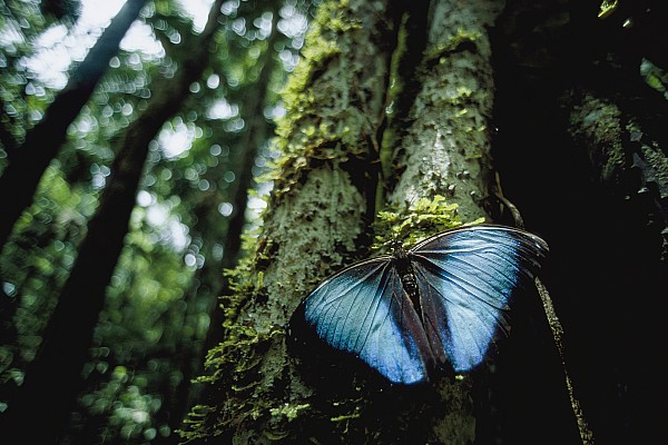 South America Photograph - A Blue Morpho Butterfly by Joel Sartore