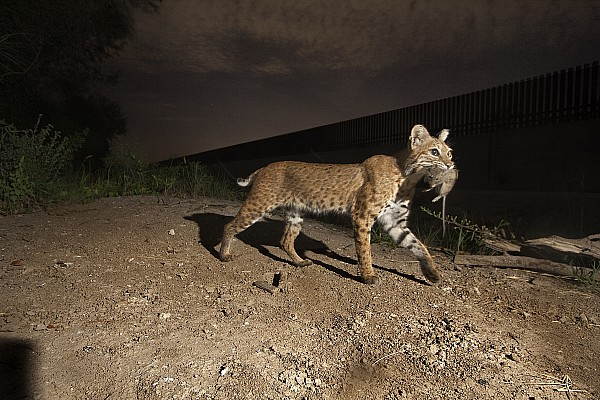 Outdoors Photograph - A Bobcat Crosses A Rio Grande Border by Joel Sartore
