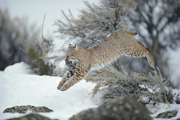 North America Photograph - A Bobcat Leaps With A Horned Lark by Michael S. Quinton