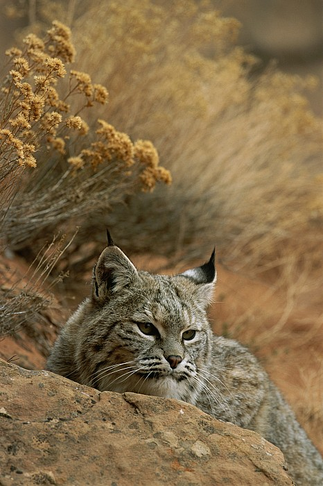 Animals Photograph - A Bobcat by Norbert Rosing