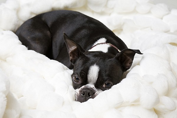 Dog Photograph - A Boston Terrier Rests On A Puffy White by Hannele Lahti