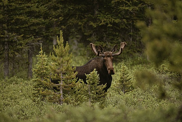 North America Photograph - A Bull Moose Stops For A Photograph by Raymond Gehman