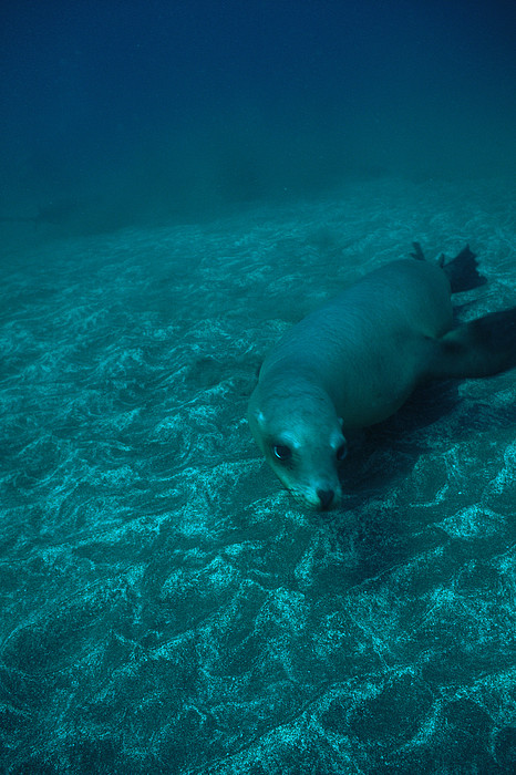 North America Photograph - A California Sea Lion Swims Close by Heather Perry