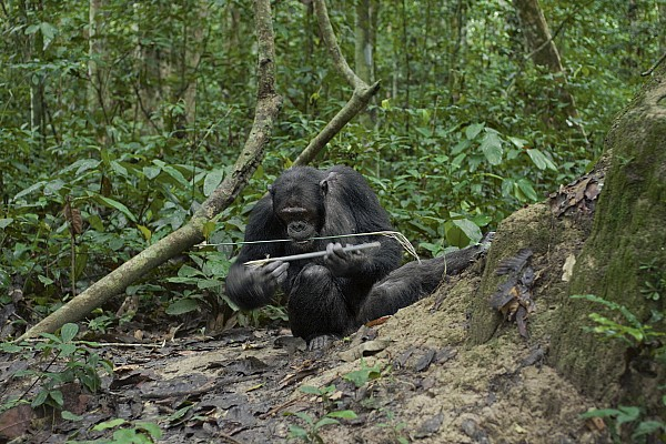 Outdoors Photograph - A Chimp At A Termite Mound Fishing by Ian Nichols