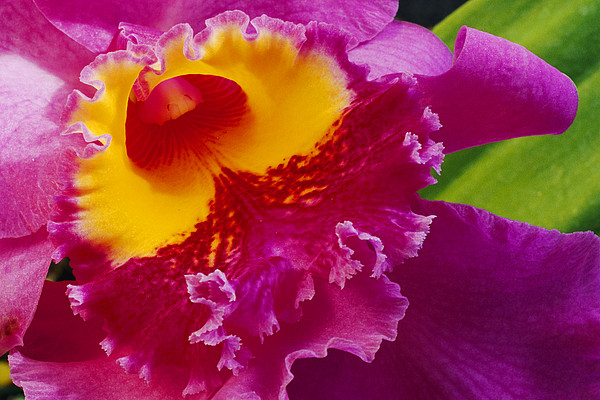 North America Photograph - A Close View Of A Bright Pink Cattleya by Jonathan Blair
