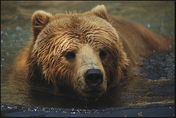 North America Photograph - A Close View Of A Captive Kodiak Bear by Tim Laman