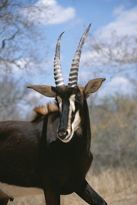Animals Photograph - A Close View Of A Sable Antelope by Beverly Joubert