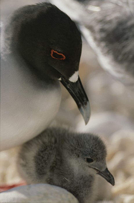 Pacific Islands Photograph - A Close View Of A Swallow Tailed Gull by Michael Melford