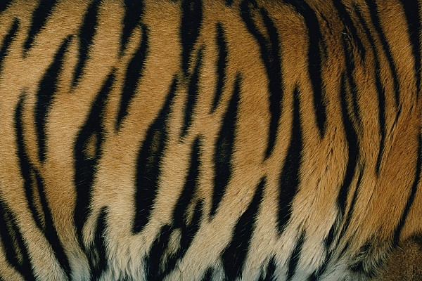 Panthera Tigris Tigris Photograph - A Close View Of The Patterned Skin by Michael Nichols