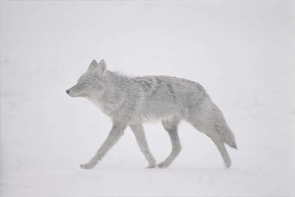 Animals Photograph - A Coyote Canis Latrans Moves by Annie Griffiths