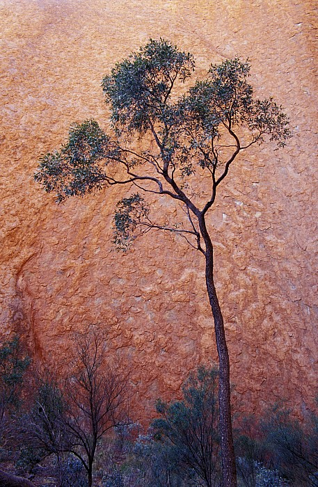 Uluru Photograph - A Desert Bloodwood Tree Against The Red by Jason Edwards