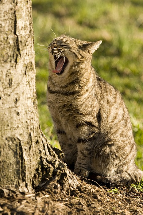 Yawning Photograph - A Domestic Cat Yawning By A Tree by Tim Laman