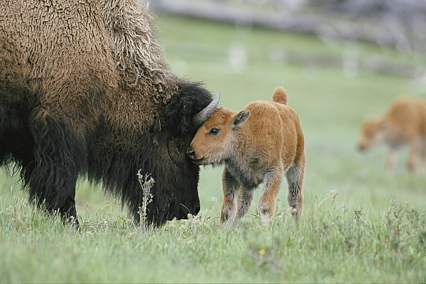 american Bison Photograph - A Female Bison Bison Bison Stands by Tom Murphy