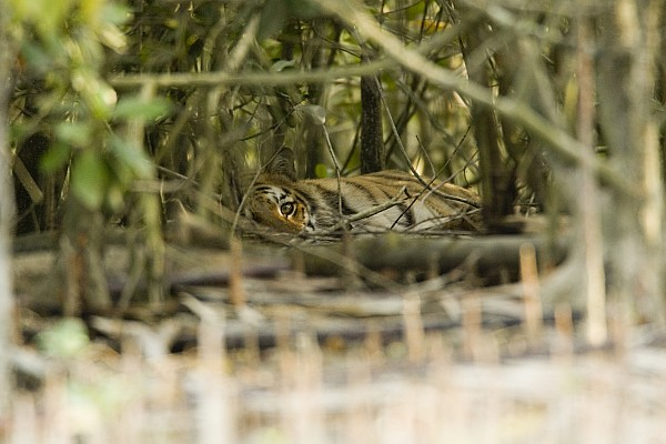 Day Photograph - A Female Tiger Rests In The Undergrowth by Tim Laman