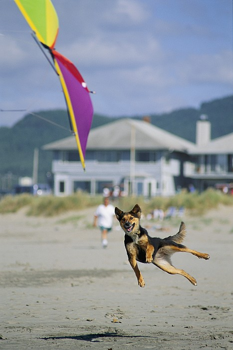 Lincoln City Photograph - A German Shepherd Leaps For A Kite by Phil Schermeister