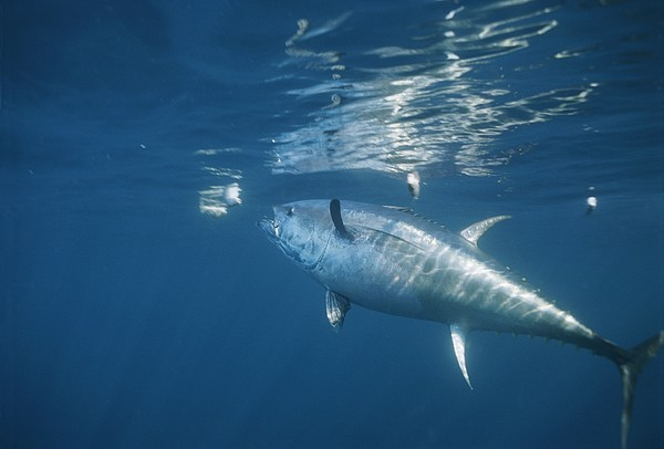 Underwater Photography Photograph - A Giant Bluefin Tuna Feeds by Brian J. Skerry
