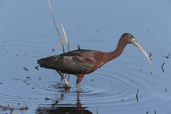 Dover Photograph - A Glossy Ibis Wades For Food In A Salt by George Grall