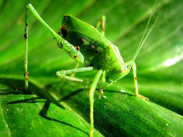 California Photograph - A Grasshopper Cleans Itself by Catherine Natalia  Roche