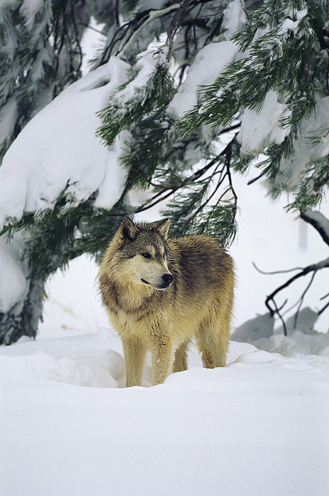 Animals Photograph - A Gray Wolf Stands Under by Norbert Rosing