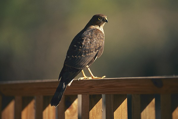 Shenandoah Valley Photograph - A Hawk Takes A Rest On A Porch Rail by George F. Mobley