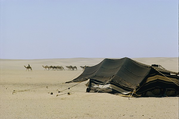 Saudi Arabia Photograph - A Herd Of Camels Heading by W. Robert Moore