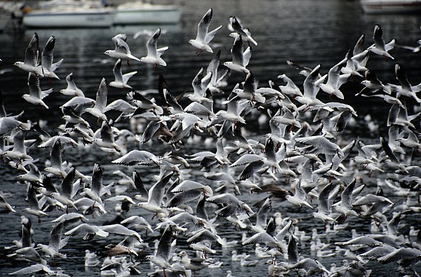 Cliff Photograph - A Large Group Of Black-headed Gulls by Tim Laman
