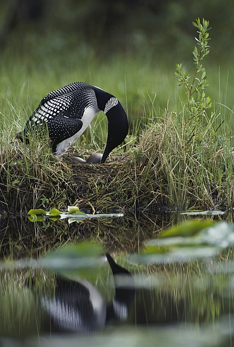 North America Photograph - A Loon Raises Itself To Turn Its Eggs by Michael S. Quinton