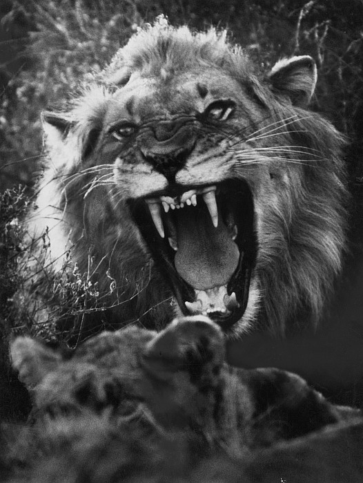 A Male Lion Roars Over His Mate Photograph By Dick Wolff-3848