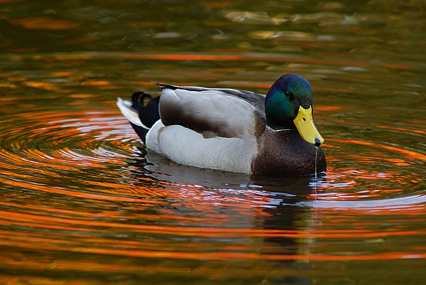 Day Photograph - A Male Mallard Duck Drinking.  Fall by Darlyne A. Murawski