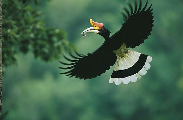 Animal Behavior Photograph - A Male Rhinoceros Hornbill Delivers by Tim Laman