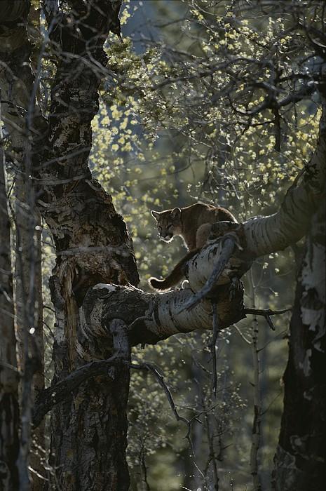 North America Photograph - A Mountain Lion, Felis Concolor, Climbs by Jim And Jamie Dutcher