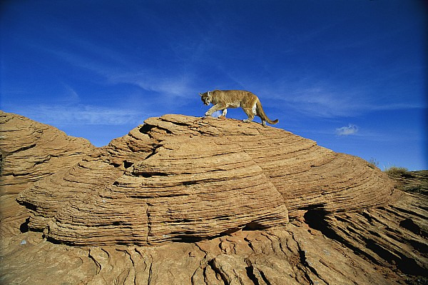 Polar Bear Photograph - A Mountain Lions Walks Across This by Norbert Rosing