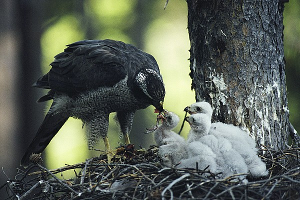 North America Photograph - A Northern Goshawk Feeds Its Scrawny by Michael S. Quinton