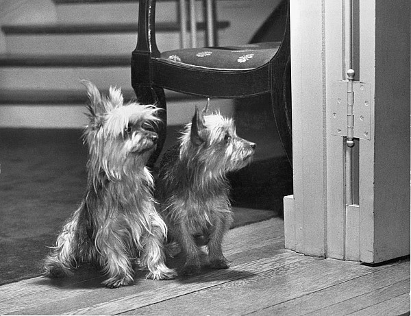 Black And White Photograph - A Pair Of Australian Silky Terriers by Willard Culver