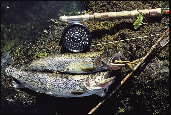 Carcasses Photograph - A Pair Of Cutthroat Trout, Salmo by Bill Curtsinger