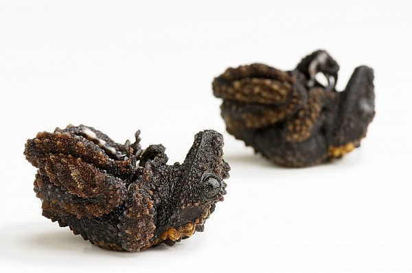 Studio Shot Photograph - A Pair Of Gordons Mossy Frogs by Joel Sartore