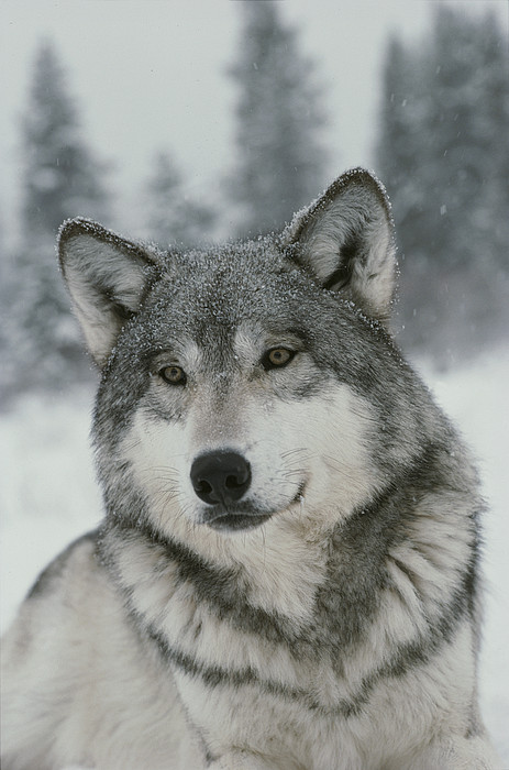 North America Photograph - A Portrait Of A Beautiful Gray Wolf by Jim And Jamie Dutcher