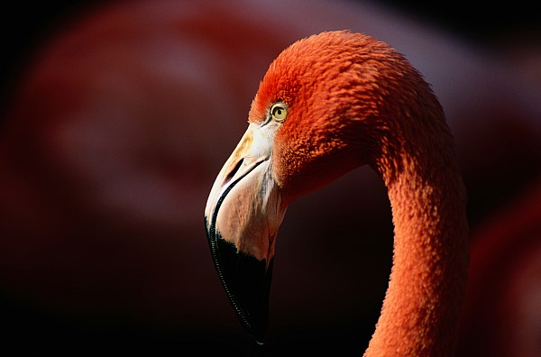Florida Photograph - A Portrait Of A Captive Greater by Tim Laman